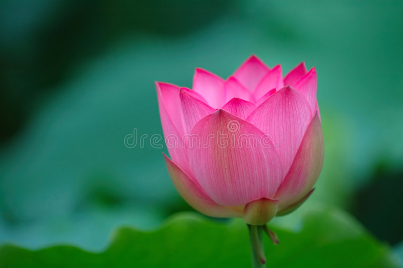 Blooming lotus flower with sharp stock photography