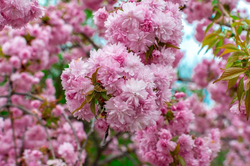 Blooming Louisiana, three-lobed almonds, soft pink lush flowers on a branch of a bush stock photography