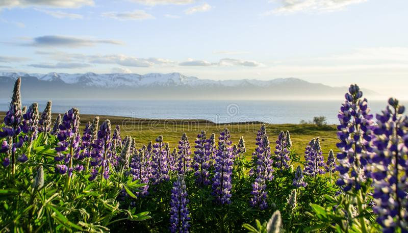 Blooming Lupine Flowers and mountains, Iceland. Blooming violet/purple Lupine flowers and snow covered mountains on background while sunset. Scenic panorama view stock photography