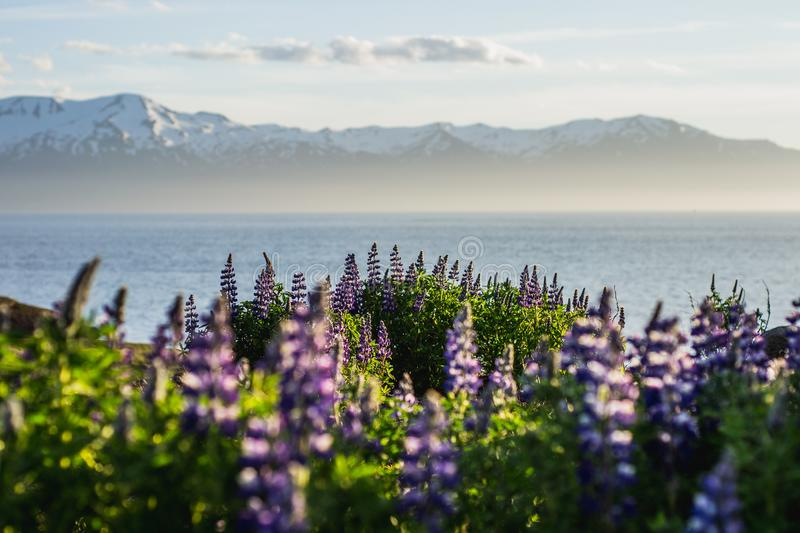 Blooming Lupine Flowers and mountains, Iceland. Blooming violet/purple Lupine flowers and snow covered mountains on background while sunset. Scenic panorama view stock photos