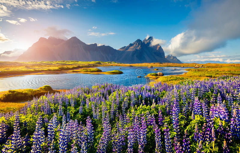 Blooming lupine flowers on the Stokksnes headland on the southeastern Icelandic coast. Iceland, Europe. Artistic style post processed photo stock photos