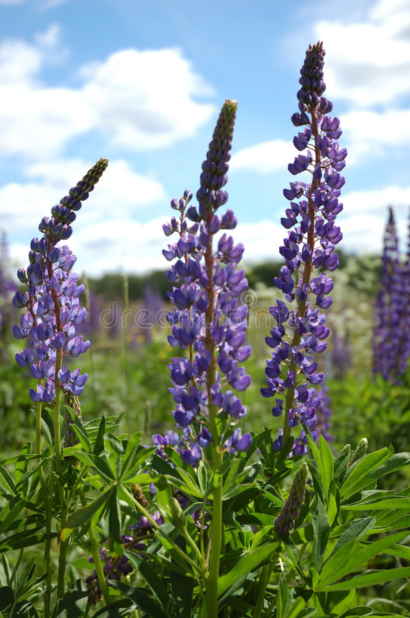 Download Blooming lupines stock image. Image of flower, land, grassland - 5856215