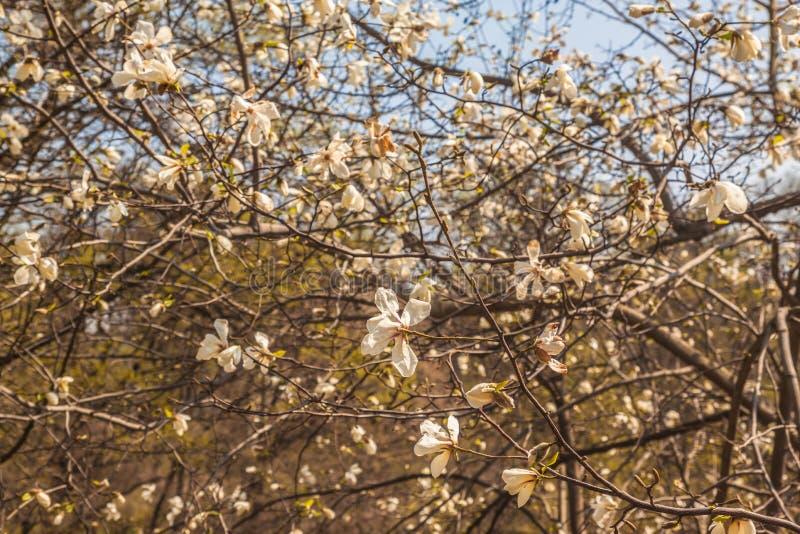 Blooming Magnolia kobus tree on sunny day royalty free stock image