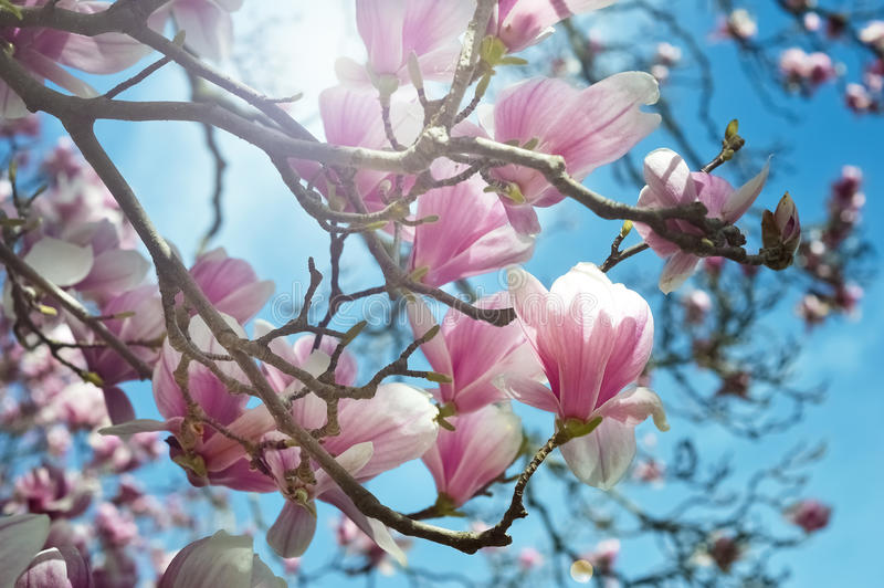 Blooming magnolia tree branch stock image image of flowers branch 54434635 - Magnolia background ...
