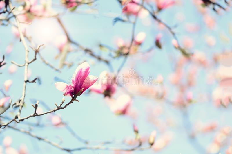 Blooming magnolia tree in the spring sun rays. Selective focus. Copy space. Easter, blossom spring, sunny woman day. Concept. Pink purple magnolia flowers royalty free stock image