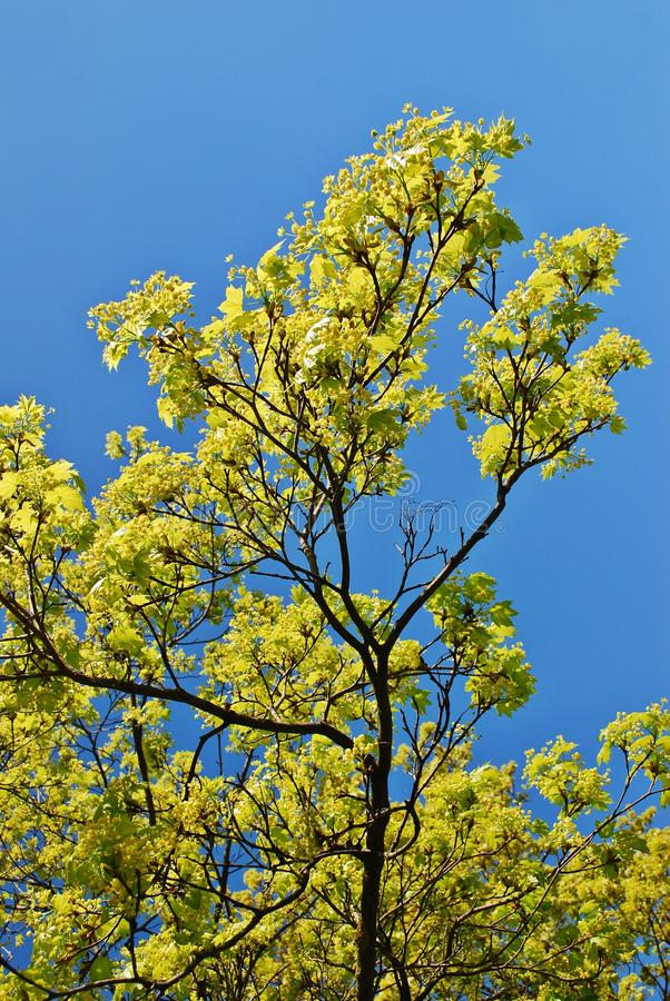 Blooming maple tree twig in early spring stock images