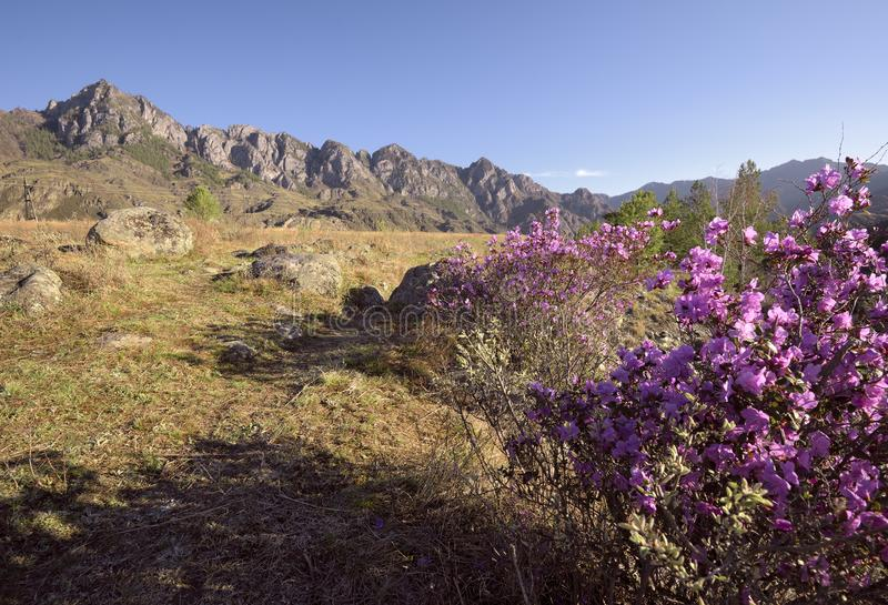 Blooming maralnik in the Altai mountains. A rose Bush blooming of maralnik in a mountain valley bathed in morning`s Golden light. Sharp rocks on the horizon royalty free stock photos