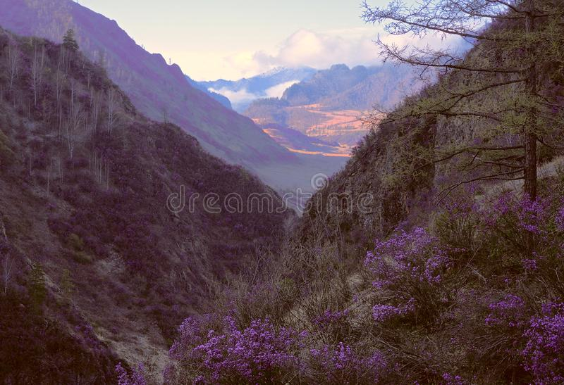 Blooming maralnik in the mountain gorge. Narrow mountain gorge, steep slopes overgrown with grass and forest. Bushes of bright pink lilac blooming of maralnik royalty free stock photo