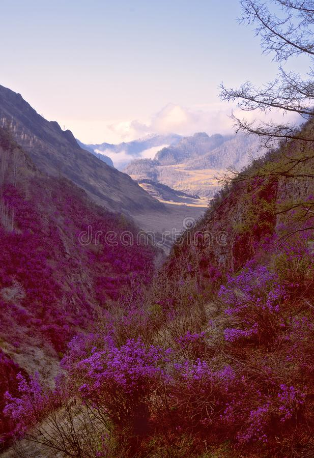 Blooming maralnik in the mountain gorge - vertically. Narrow mountain gorge, steep slopes overgrown with grass and forest. Bushes of bright pink lilac blooming stock image