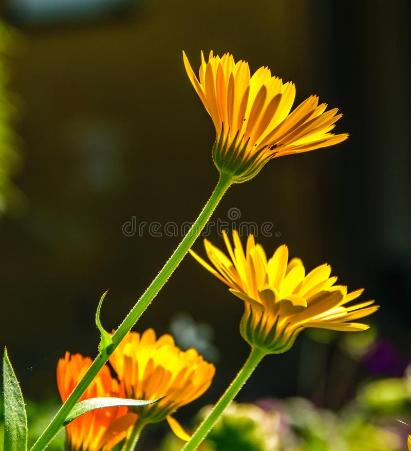 Blooming marigold flowers. Garden flowers. Orange calendula flower shot from the side against the sun. stock photos