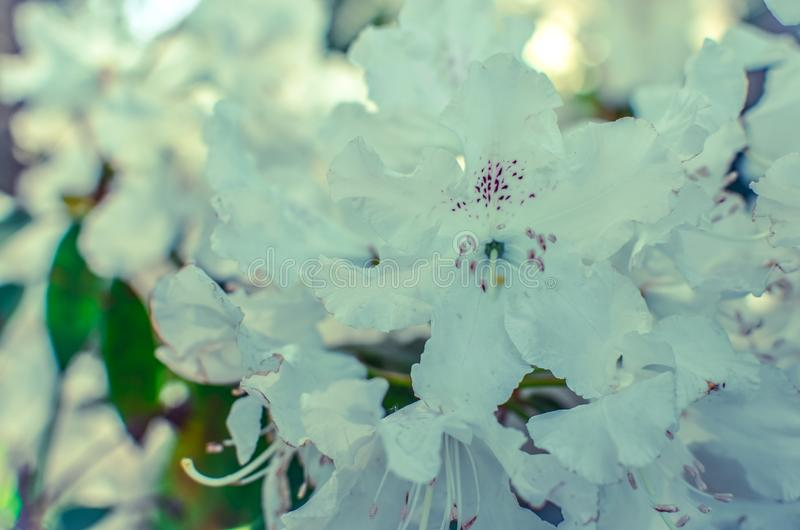 Blooming meadow with white flowers of rhododendron bushes royalty free stock photography