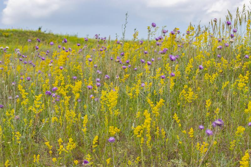 Blooming meadow, wild herbs and flowers on a summer meadow, yellow purple violet flowers and green grass. Blooming summer meadow royalty free stock images