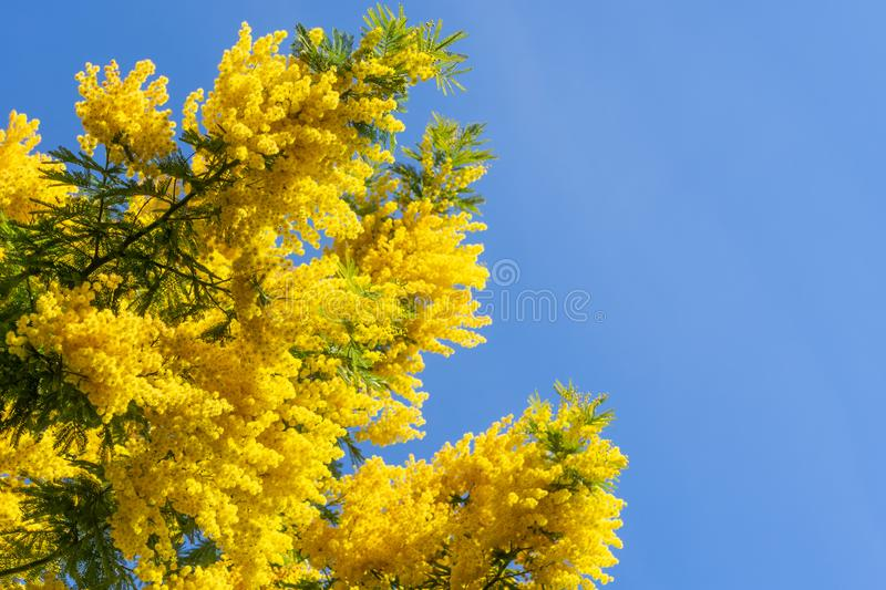 Blooming mimosa against the blue sky. Acacia dealbata. Bright blooming mimosa against the blue sky in springtime background stock photo