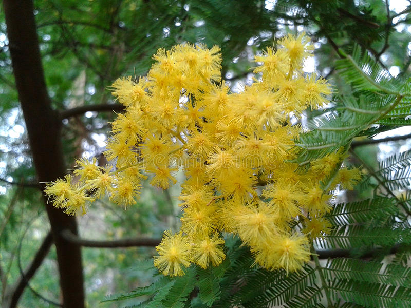 Blooming mimosa tree, Acacia dealbata. In the forest, Caucasus Nature Reserve royalty free stock photos