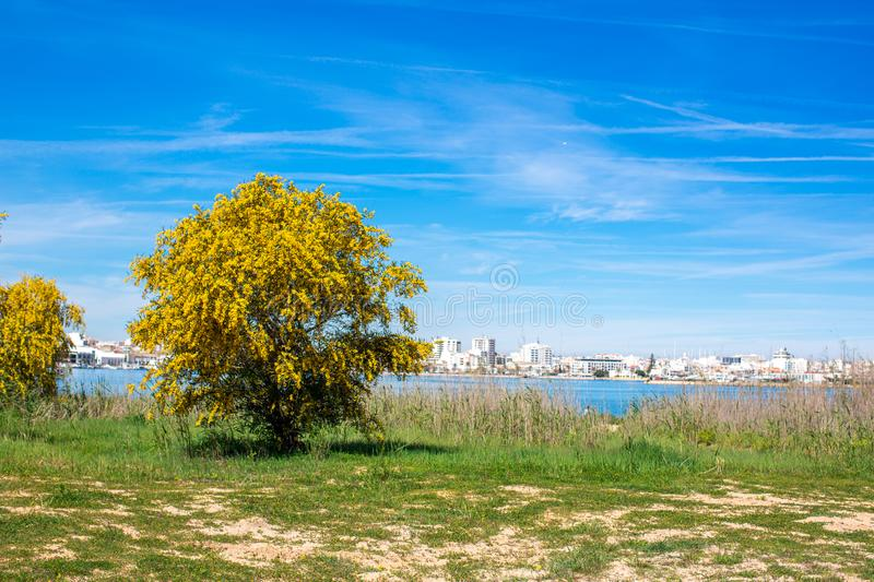 Blooming mimosa tree on the green grass on the shore against the background of the river, overlooking the city Portimao, Portugal royalty free stock images