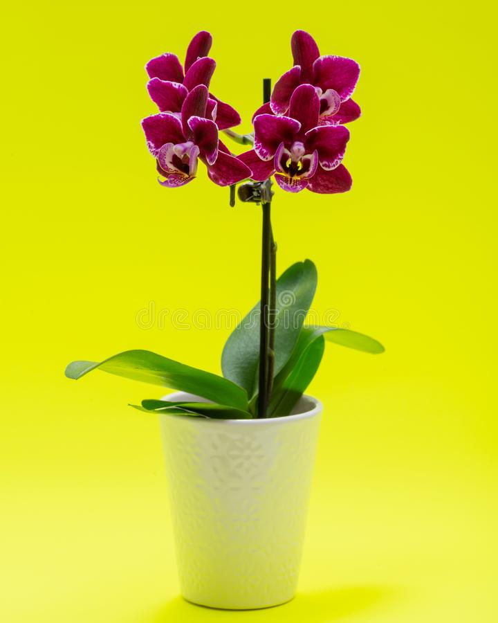 Blooming Mini Velvet Burgundy  Phalaenopsis Orchid Plant isolated on bright yellow background. Moth Orchids. Tribe: Vandeae. royalty free stock images