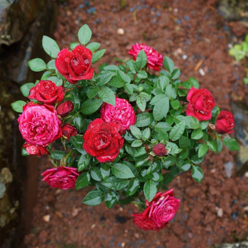 Blooming miniature red kordana rose shrub in garden.  royalty free stock photo