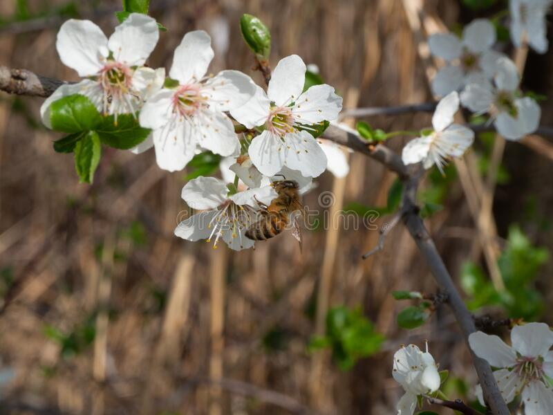 Blooming mirabelle plum tree in spring. Time royalty free stock photography