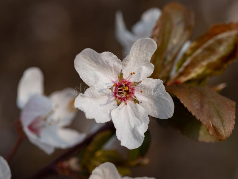 Blooming mirabelle plum tree in spring. Time stock photo