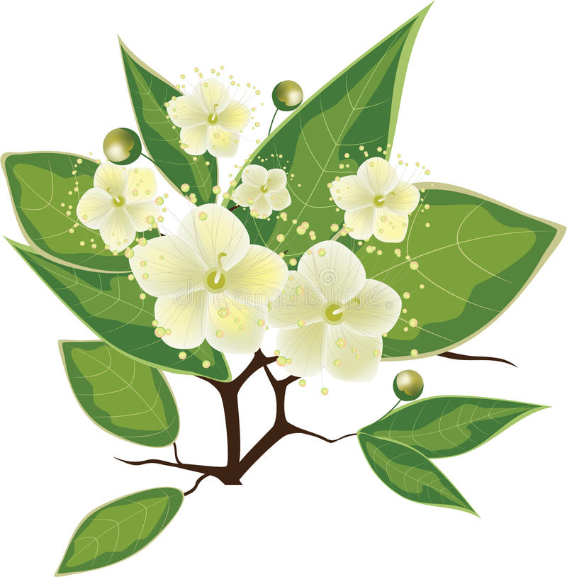 Free Blooming Myrtle Branch, Vector Illustration Royalty Free Stock Image - 23562196