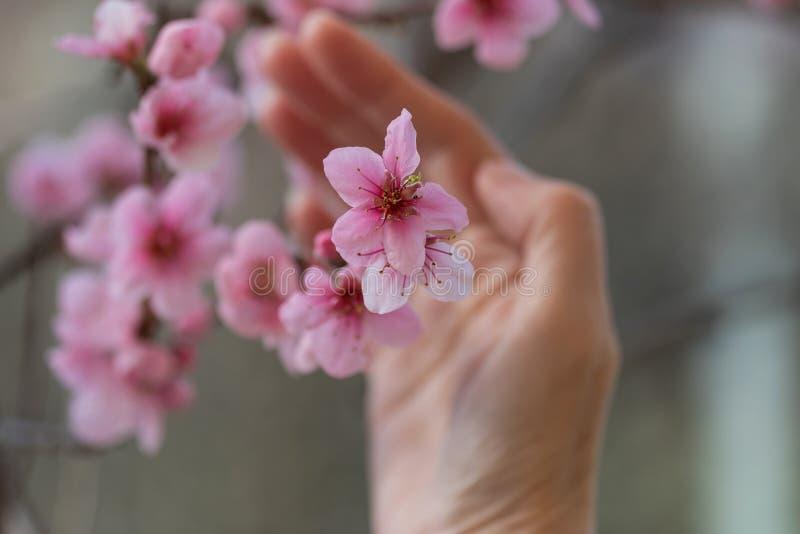 Blooming nectarine royalty free stock photos