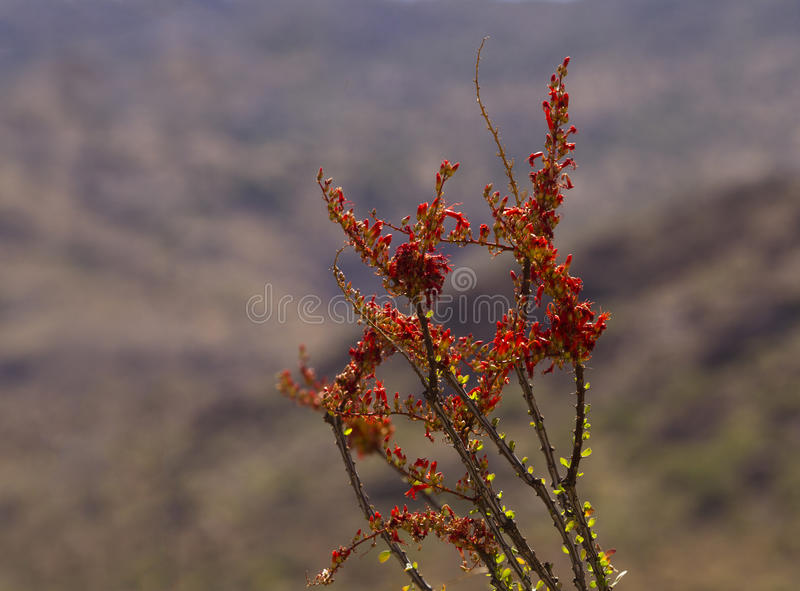 Blooming ocotillo against Rincon Mountains. Blooming flowers on ocotillo cactus canes in selective focus against Rincon Mountains. Location is Saguaro National royalty free stock photo