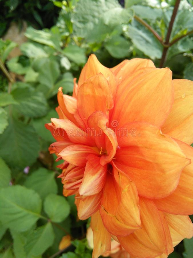 Blooming orange color flower morning. Beautiful Red orange flower blooming early in the morning on my garden.srilanka royalty free stock images
