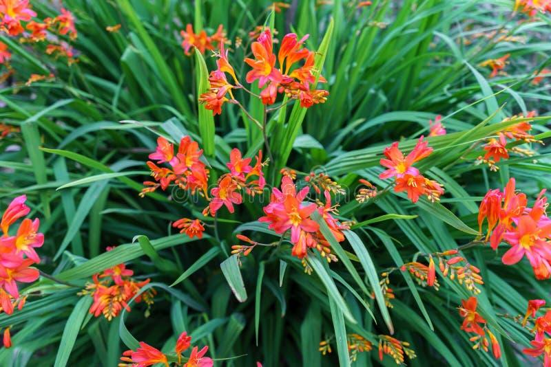Blooming orange daylilies, Hemerocallis, in the summer garden, selective focus stock photography