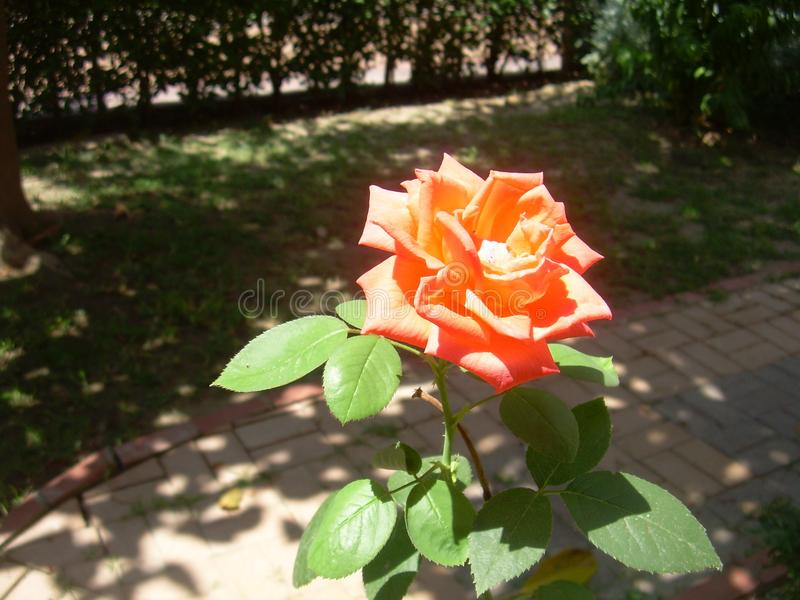 A blooming Orange rose with leaves in the sunshine and shadow royalty free stock photography