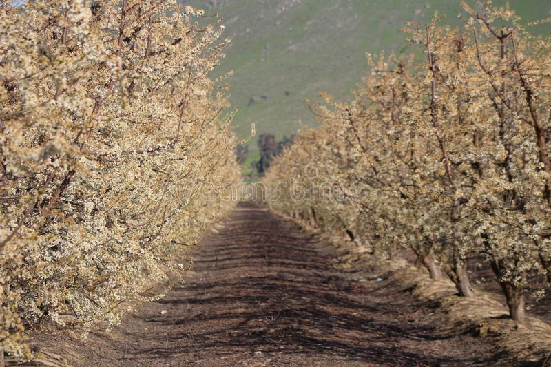 Blooming Orchard in Fresno County. In California on the Blossom Trail in the spring royalty free stock image