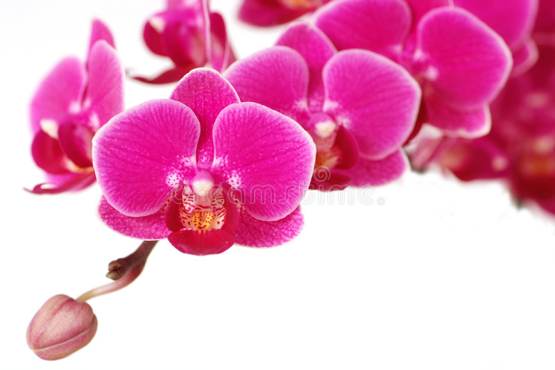 Download Blooming orchid stock photo. Image of flowers, plant, clean - 4460144