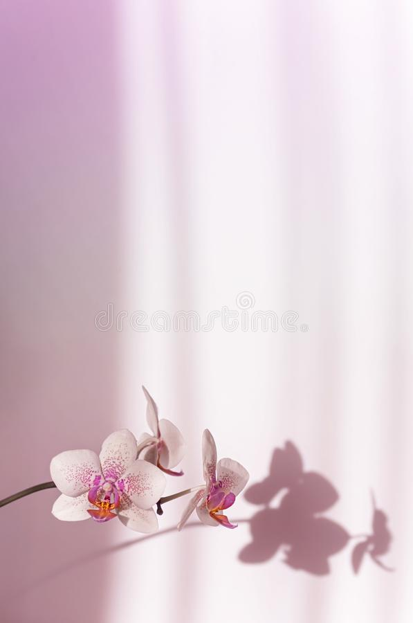 Free Blooming Orchid Closeup, Shadows On The Wall. Vertical Frame. Neon Light. Selective Focus. Close-up, Copy Space Royalty Free Stock Images - 165112139