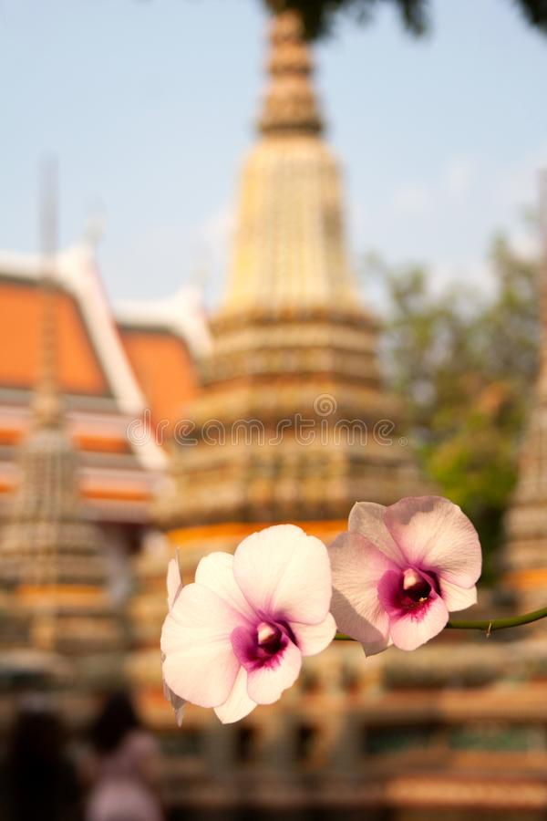 Blooming orchid flowers in front of buddhist ancient temple royalty free stock image