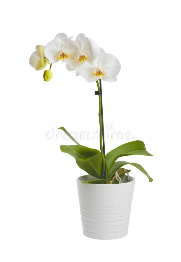 Blooming orchid plant in ceramic flower pot isolated on white background stock photos
