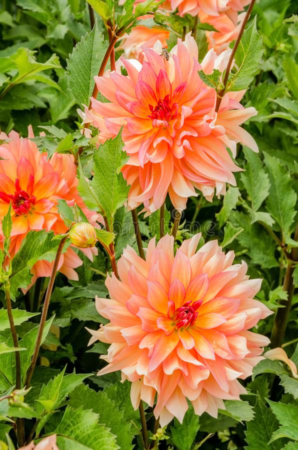 Blooming pale pink dahlia on a sunny summer day stock photos
