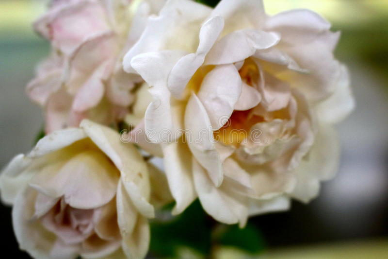 Blooming pale pink roses. Collection of delicate blooming pale pink roses royalty free stock photo
