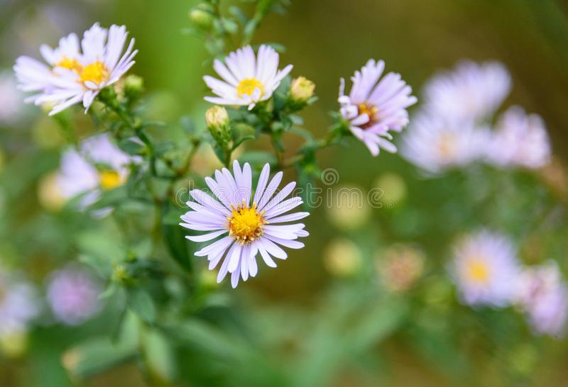Blooming pale purple american aster, aster novae-angliae stock photo