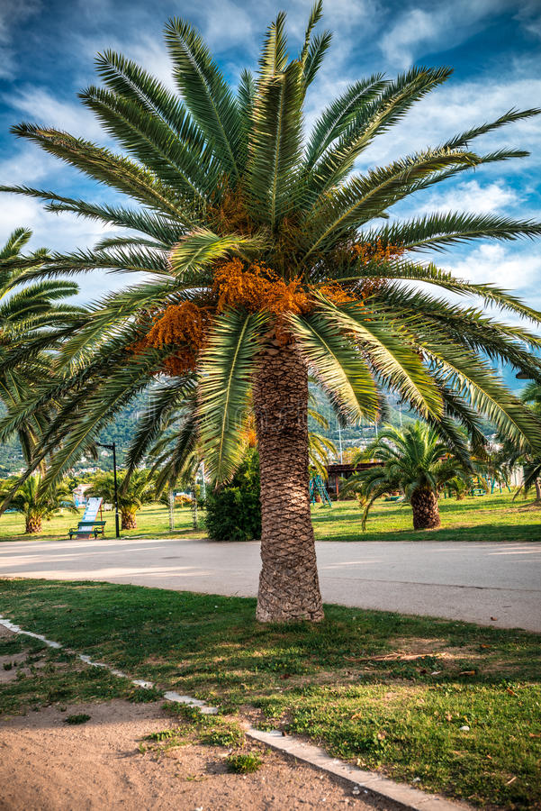 Blooming palm tree on the lawn in the tropics royalty free stock image