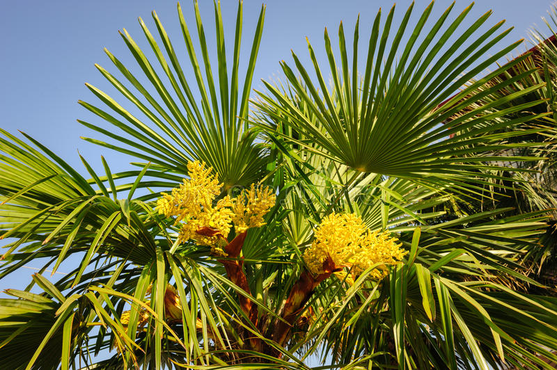 Blooming palm tree. Top section with yellow flowers and sky stock photos