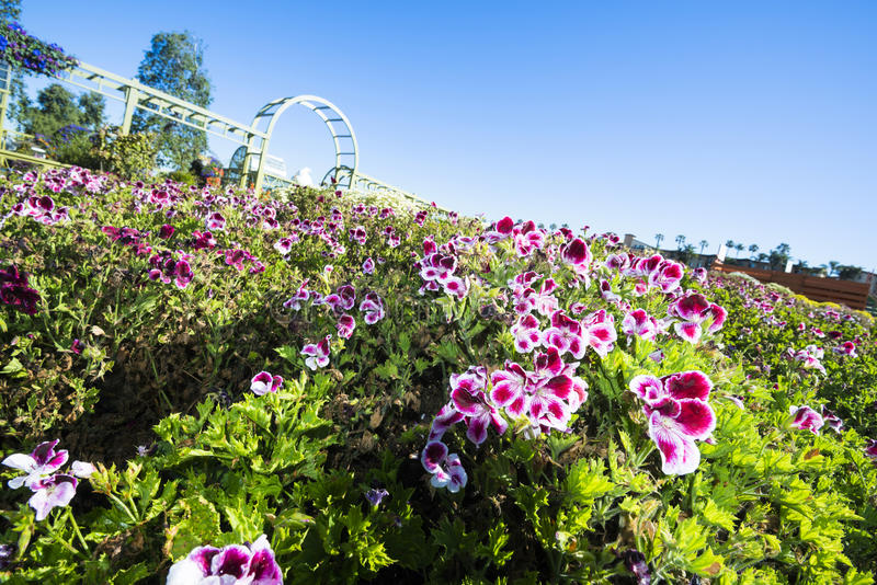 Blooming pansies at Flower Fields San Diego. In springtime the Flower Fields in San Diego California are in full bloom and vibrant gardens line the entire stock photo