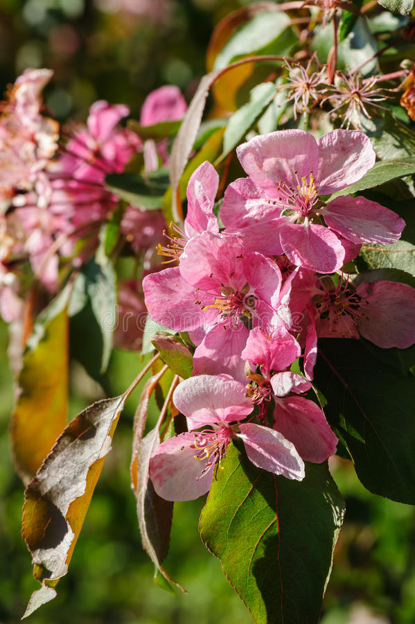 Blooming paradise apple flower. Beautiful blooming paradise apple tree flowers closeup during springtime stock images