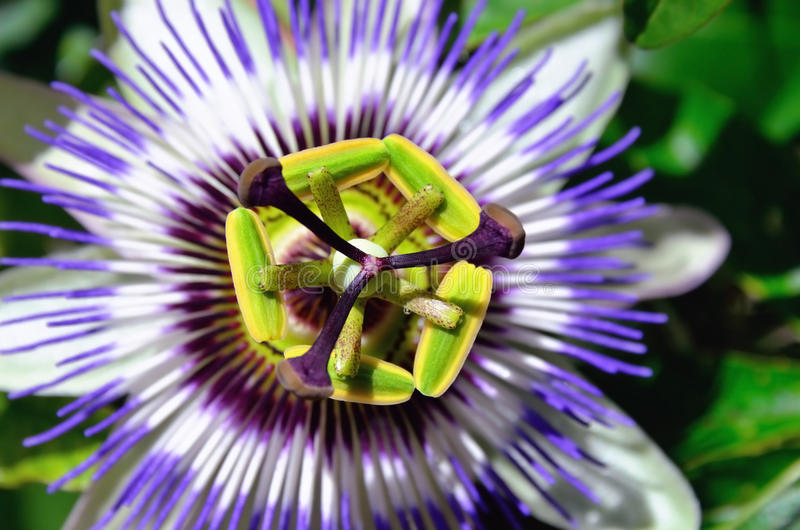 Blooming passion fruit royalty free stock images