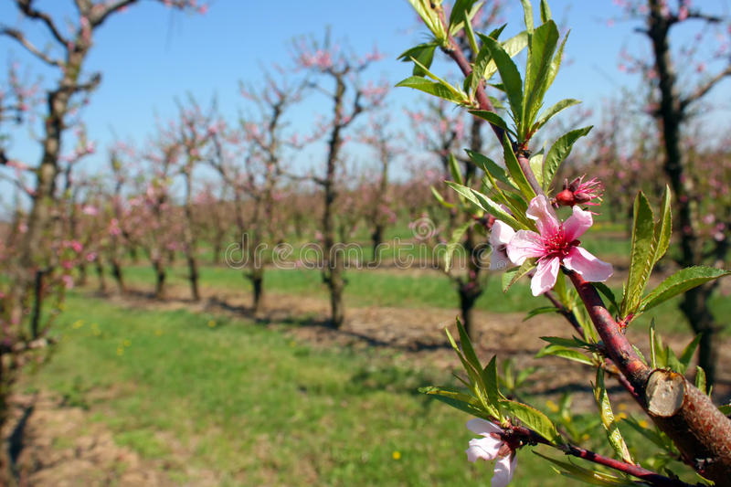 Blooming Peach Royalty Free Stock Photo