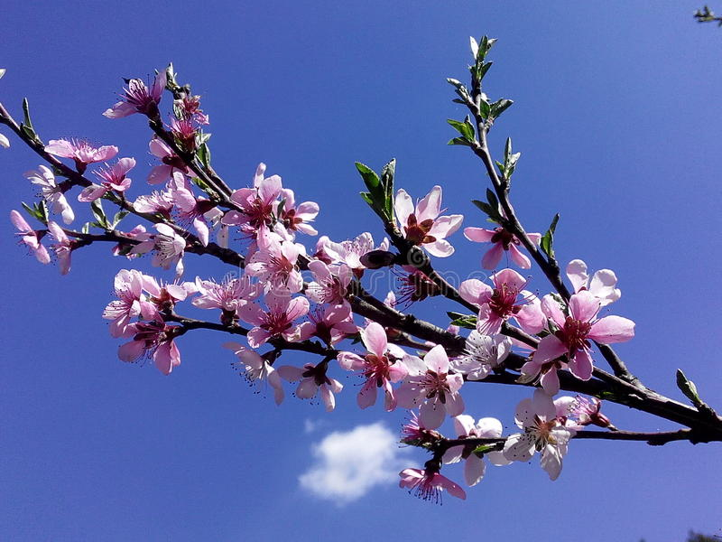 Blooming peach stock photography