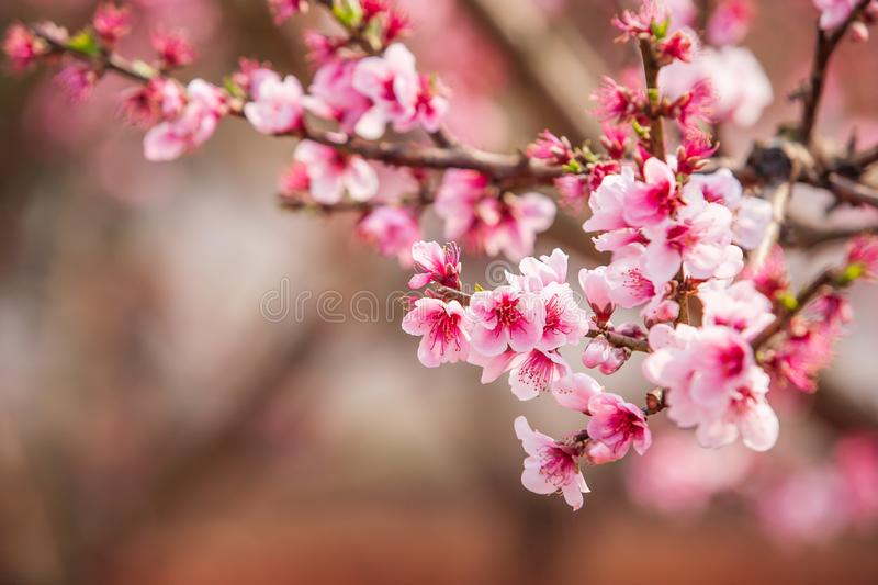 Blooming Peach cherry in the branches of trees, pink flowers in full bloom. Spring blossom. Dongchuan, Kunming Province, China. stock photos