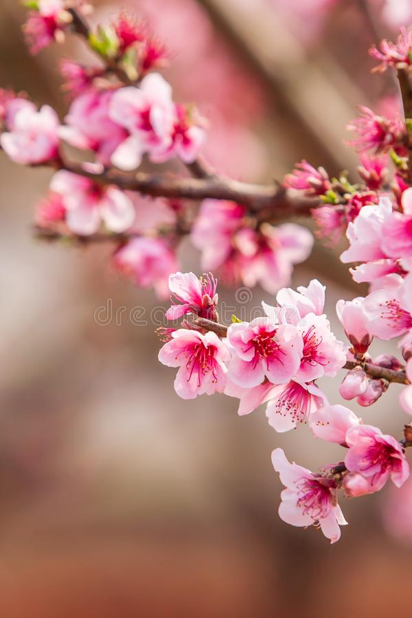 Blooming Peach cherry in the branches of trees, pink flowers in full bloom. Spring blossom. Dongchuan, Kunming Province, China. stock image