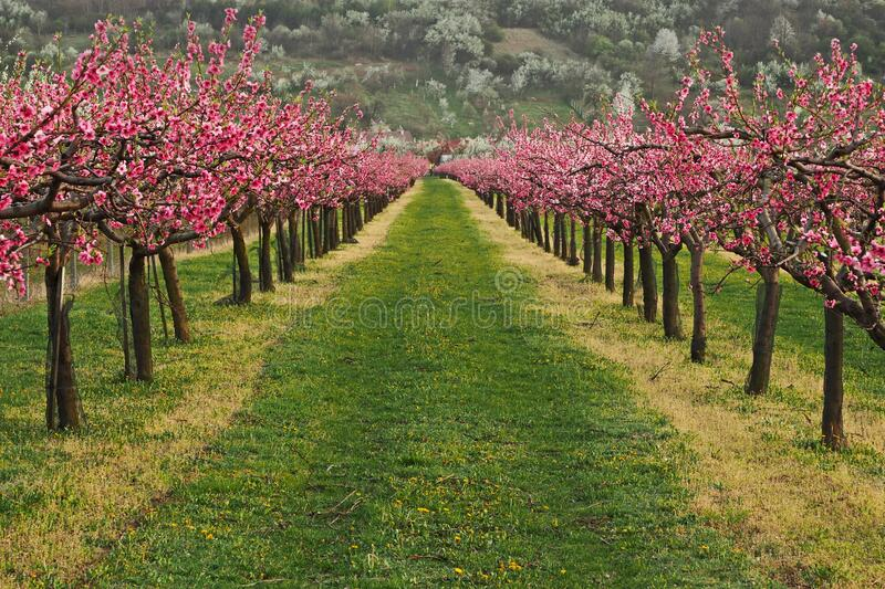 Blooming peach trees royalty free stock image