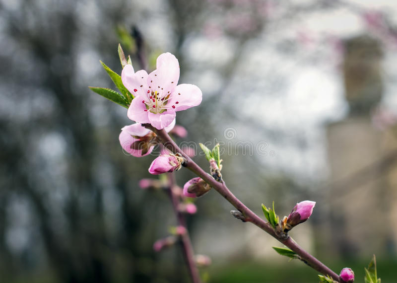 Blooming peach tree in spring royalty free stock images