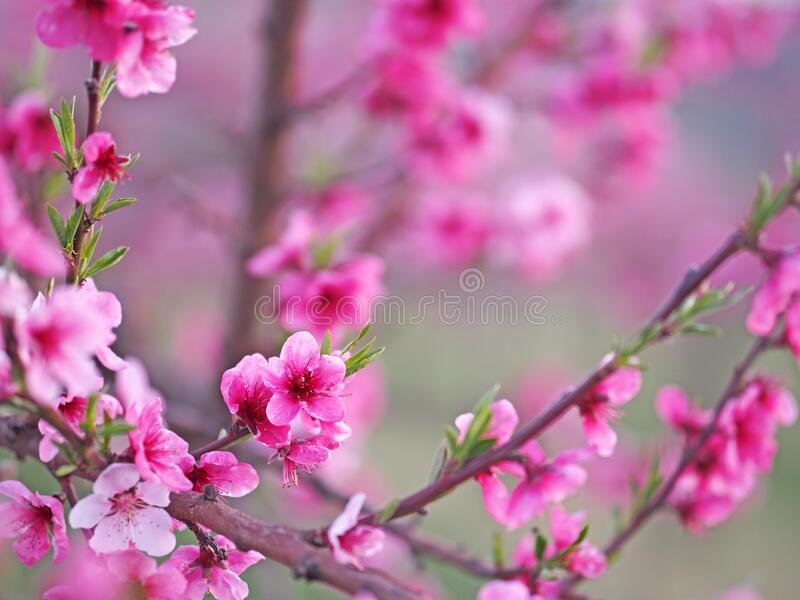 Blooming peach trees stock image