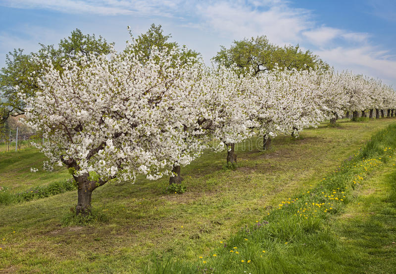Download Blooming peach trees stock image. Image of blossoms, floral - 30801797